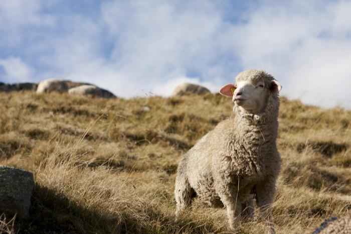 Schweizer Wolle: Nachhaltig und funktional
