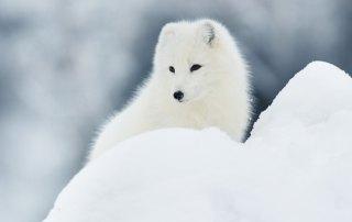 Fjällräven Artic Fox